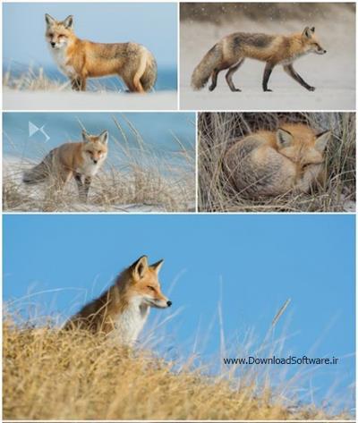 دانلود 8 تصویر استوک از روباه